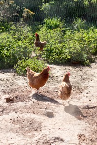 Country kids hens